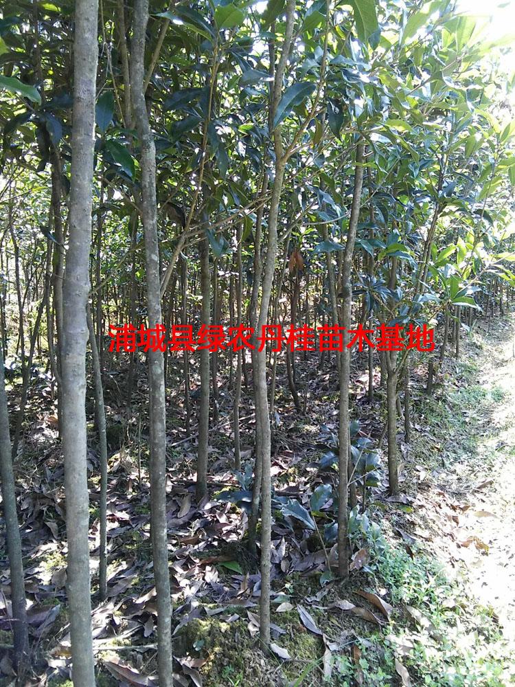 丹桂苗木种类1