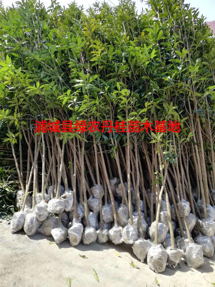 2-5公分丹桂种类4