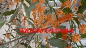 福建红花丹桂种类5
