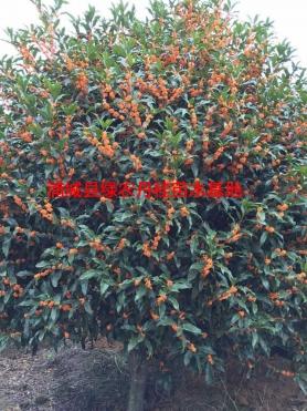 福建红花丹桂种类4