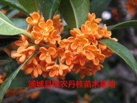 福建红花丹桂种类3
