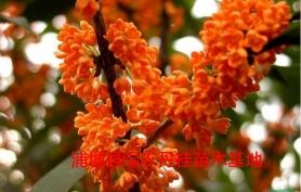 福建红花丹桂种类2