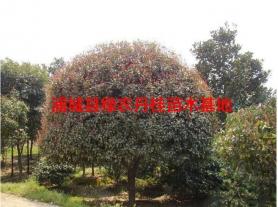 福建红花丹桂种类1