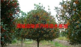 福建红花丹桂
