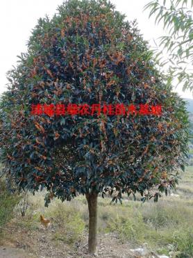 福建丹桂种类8