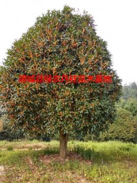 福建丹桂种类7