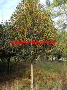 福建丹桂种类6