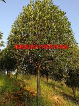 福建丹桂种类5