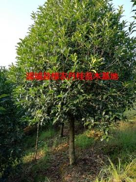 福建丹桂种类4