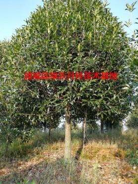 福建丹桂种类3