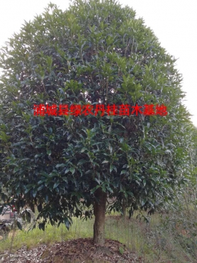 福建丹桂种类2