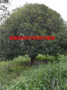 福建丹桂种类1
