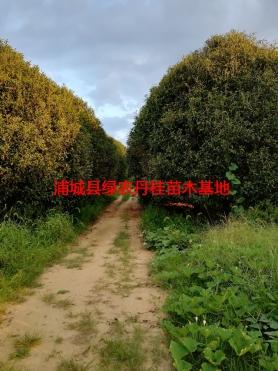 丹桂基地3