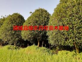 丹桂基地1