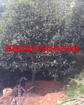 丹桂树苗种类11