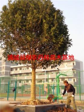 丹桂树苗种类10