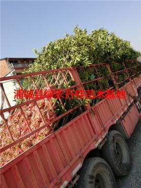 丹桂树苗种类9