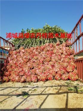 丹桂树苗种类8