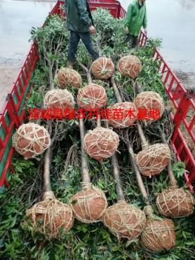 丹桂树苗种类6