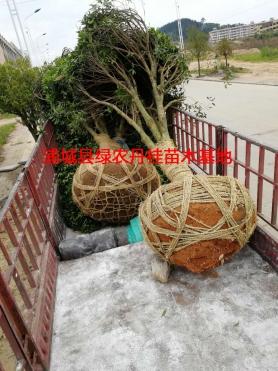 丹桂树苗种类5