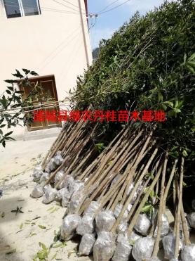 丹桂树苗种类4