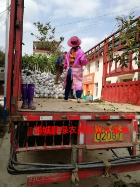 丹桂树苗种类3