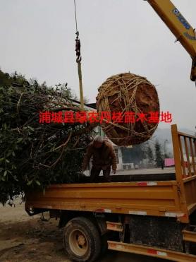 丹桂树苗种类2