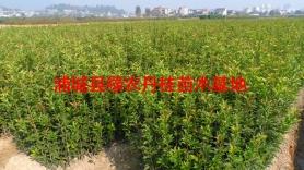 丹桂苗木种类7