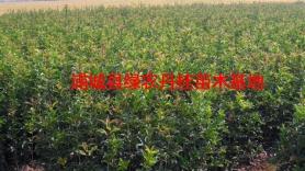 丹桂苗木种类6