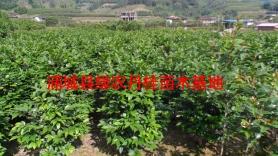 丹桂苗木种类5