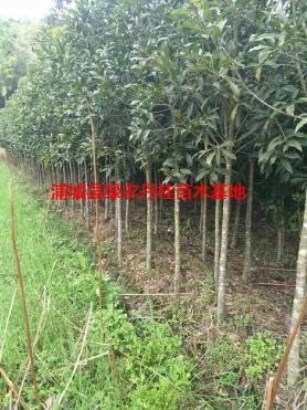 丹桂苗木种类4
