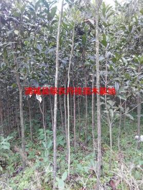 丹桂苗木种类2