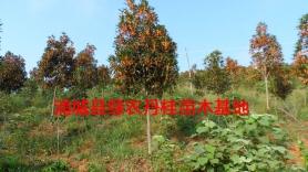 丹桂苗木种类3