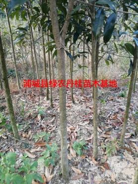 2-10公分丹桂种类4