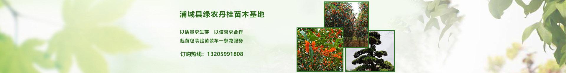 丹桂基地,丹桂批发,10公分丹桂